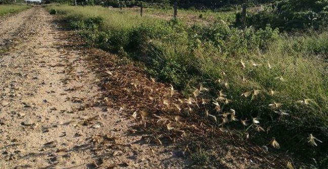 Mantienen el operativo de control de las mangas de langostas — Chaco
