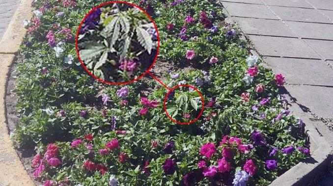 Una planta de marihuana creció en una plaza de Rafaela